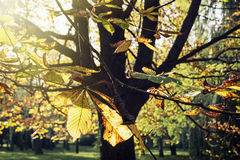 Herbstkastanienbaum im Sonnenlicht Lizenzfreie Stockfotografie