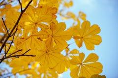 Herbstkastanienblätter Weicher Fokus Lizenzfreies Stockbild