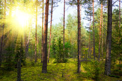Herbstkiefernholz stockfoto