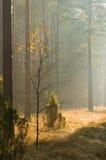 Herbstkieferwald stockfotografie