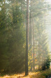 Herbstkieferwald lizenzfreie stockfotos