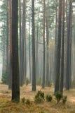 Herbstkieferwald stockfotos