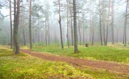 Herbstkieferwald Stockfoto