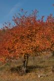 Herbstkirschbaum mit einsamer Bank Lizenzfreie Stockfotos