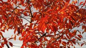 Herbstkirschbaumblätter Stockfoto