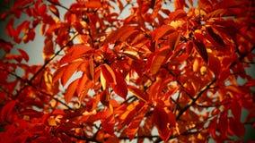Herbstkirschbaumblätter Lizenzfreie Stockfotografie