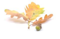 Herbstkonzept mit Eicheln Stockfoto