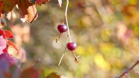 Herbstkorinthenbusch mit Rot verlässt in der Sonne Zweig mit Korinthenbeeren im Garten stock video