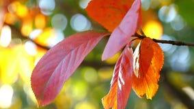 Herbstkorinthenbusch mit Rot verlässt in der Sonne Zweig mit Korinthenbeeren im Garten stock footage