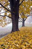 Herbstlandschaft mit Ahornbaum und Nebel Stockbilder