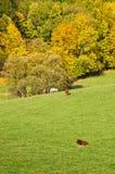 Herbstlandschaft mit dem Weiden lassen des Viehs Lizenzfreie Stockfotos