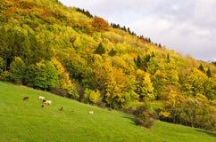 Herbstlandschaft mit dem Weiden lassen des Viehs Stockfotografie