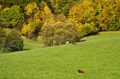Herbstlandschaft mit dem Weiden lassen des Viehs Stockbild