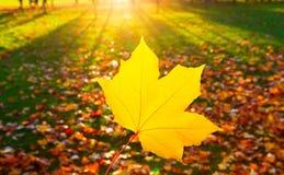 Herbstlandschaft mit der Sonne, die warm ein Blatt eines mapl erhellt stockfotografie