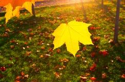 Herbstlandschaft mit der Sonne, die warm ein Blatt eines mapl erhellt stockfoto