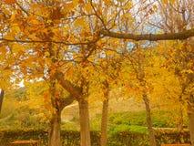 Herbstlandschaft mit fallenden Blättern eines Laubbaumes Lizenzfreies Stockfoto