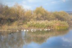 Herbstlandschaft mit Menge von Enten Stockbild
