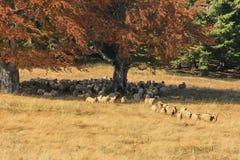 Herbstlandschaft mit Schafen Stockfotos