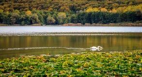 Herbstlandschaft mit Schwan Trinken und waterliliesblättern stockfotografie