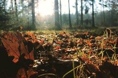Herbstlaub auf dem Waldboden Stockbild
