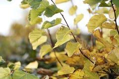 Herbstlaub auf einem Baumast Lizenzfreies Stockbild