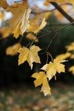 Herbstlaub auf einem Baumast Lizenzfreie Stockfotografie