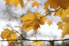 Herbstlaub auf einem Baumast Lizenzfreie Stockfotos