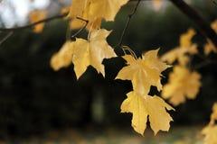 Herbstlaub auf einem Baumast Lizenzfreie Stockbilder