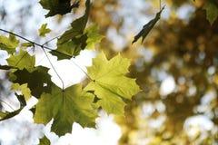 Herbstlaub auf einem Baumast Lizenzfreies Stockfoto