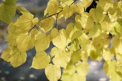 Herbstlaub auf einem Baumast Stockfotografie