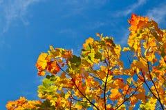 Herbstlaub auf Niederlassung und blauem Himmel im Hintergrund Stockfotos