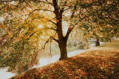 Herbstlaub Autumn Yellow Golden Linden Tree Stockbilder