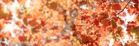 Herbstlaub, Blätter auf Baum beleuchtete durch schöne Natur des Sonnenlichts im Herbst stockbild