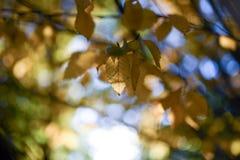 Herbstlaub-Blätter färben Bokeh gelb lizenzfreie stockfotos