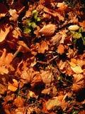 Herbstlaub der Eiche auf Erde tagsüber Lizenzfreie Stockfotografie