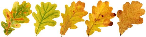 Herbstlaub der Eiche auf weißem Hintergrund Lizenzfreies Stockfoto