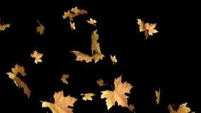Herbstlaub, der mit Schleifenclip des Alphakanals fällt Kann dieses Klipp für Hintergrund oder Überlagerungen auf Ihrem Bild, Vid stock abbildung