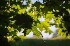 Herbstlaub in der untergehenden Sonne lizenzfreies stockbild