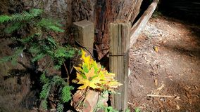 Herbstlaub des Grüns und des Goldes Herbstrandauslegung mit Eicheneicheln und -tageslicht winklig lizenzfreie stockbilder