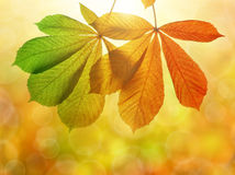 Herbstlaub des Kastanienbaums Stockbilder