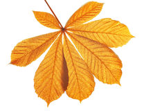 Herbstlaub des Kastanienbaums Stockfotografie