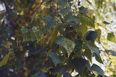 Herbstlaub einer Birkennahaufnahme Stockfotografie