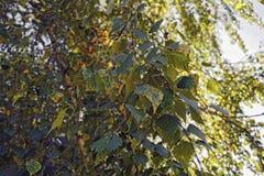 Herbstlaub einer Birkennahaufnahme Lizenzfreie Stockfotos