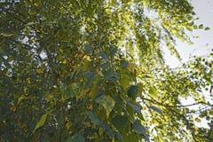 Herbstlaub einer Birkennahaufnahme Lizenzfreies Stockfoto
