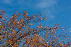 Herbstlaub eines Weißdorns Stockfoto