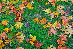 Herbstlaub fällt auf den Hintergrund des grünen Grases feucht lizenzfreie stockfotografie