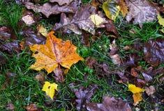 Herbstlaub gefallen auf das grüne Gras Stockbild