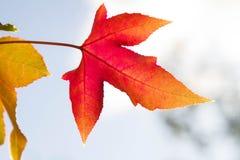 Herbstlaub gegen den blauen Himmel und die Sonne stockfoto