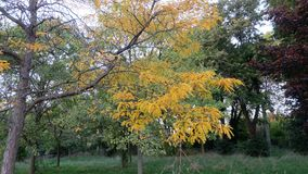 Herbstlaub - goldene gelbe Baum-Blätter - Ile de Puteaux, Frankreich Stockbild