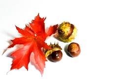 Herbstlaub mit den Kastanien lokalisiert auf weißem Hintergrund Stockfotografie